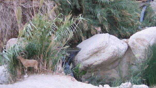 Ibex à En Gedi